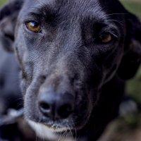 Четыре лапы,влажный нос и очень умный взгляд... :: Анастасия Санько