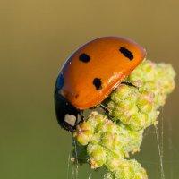 Божья коровка (лат. Coccinellidae) — семейство жуков. :: Анна Слободенюк
