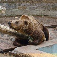 Бурый мишка из Харьковского зоопарка :: Elena