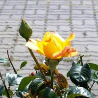Чайная роза :: Самохвалова Зинаида