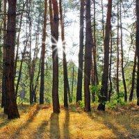 Сосновый лес, освещенный солнечными лучами. :: Валентина ツ ღ✿ღ