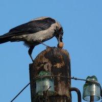 находчивая ворона :: Александр Прокудин