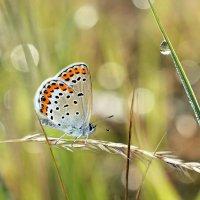 Утренняя  бабочка :: Геннадий С.