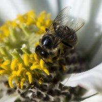 Пчела и цветок :: Анатолий Иргл