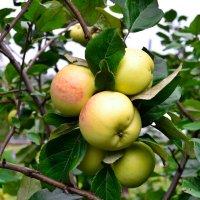 Яблочки сибирские дозревают. :: cfysx