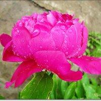 После дождя.Розовый :: Лидия (naum.lidiya)
