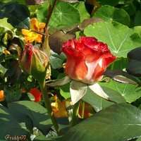 Роза :: Freddy 97
