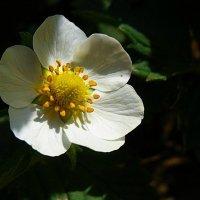 цветок :: Tiana Ros