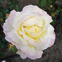 "Роза ""Gloria Del""(""Peace""), год создания 1943, чайно-гибридная :: Елена Павлова (Смолова)"