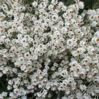 Анафалис жемчужный -  самые красивые цветы для сухих букетов :: Елена Павлова (Смолова)