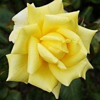 Цветок осени. Роза садовая, сорт Ландора :: Елена Павлова (Смолова)