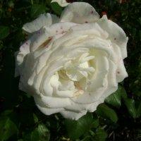 Великие Луки. Роза №1 :: Марина Домосилецкая