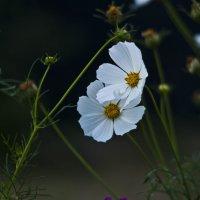 Цветущий август :: Ольга Винницкая