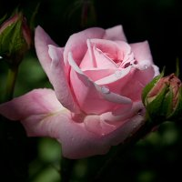 pink rose after rain :: Oxana Epifanova