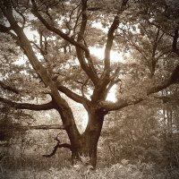 ...старый дуб... :: Андрей Гр