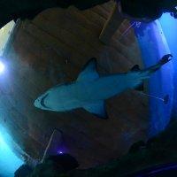 акула :: Дарья Орехова