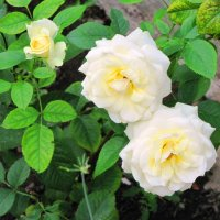 Белые розы :: Ольга Иргит