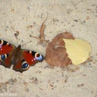 Бабочки осени :: °•●Елена●•° Аникина♀