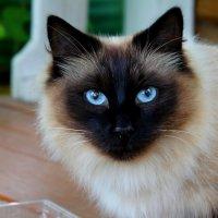 Голубоглазое чудо! :: Akira Shiro