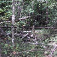 Ёлы - палы...лес густой :: Ольга Кривых