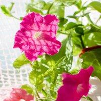 Домашние цветы :: Алёна Меженькова