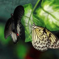 бабочки :: Людмила Селегенева