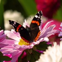 Астра цветок осенний (1) :: Александр Запылёнов