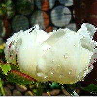 Прозрачные капли дождя :: Лидия (naum.lidiya)