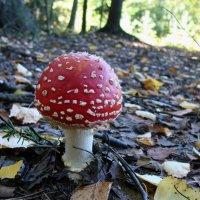 Самый эффектный гриб, конечно, мухомор! :: Ирина Румянцева