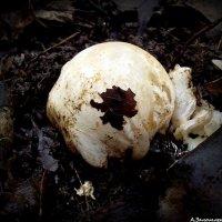 Чертово яйцо - зародыш гриба веселки :: Андрей Заломленков