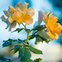 роза в лучах заката :: Павел Шалаев