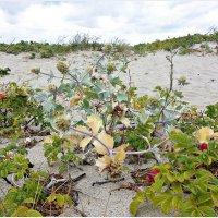 Растения дюн. :: Валерия Комова
