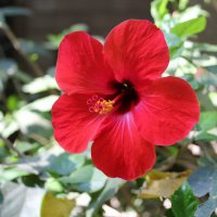 Аленький цветочек :: Larisa
