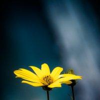 Ромашка на упругой ножке кружится, танцует и - цветёт! :: Ангелина Хасанова