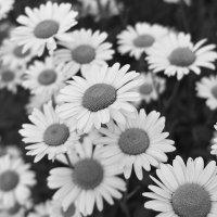 Ромашки в чёрном и белом. :: Андрий Майковский