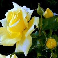 Солнечная роза. :: Елена