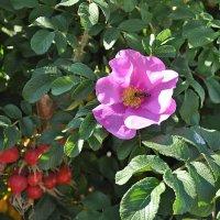 Цветок и пчела в лучах бабьего солнца! :: Андрей Синицын
