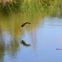 Полёт утки. :: Anatol Livtsov