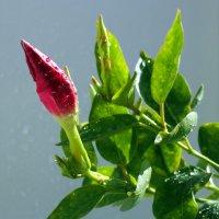 Цветы у мамы ( скоро распустится ) :: Александр Попов