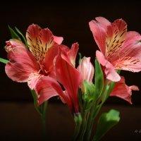 Это растение инки почитали, как подарок Солнечного божества. :: Anna Gornostayeva