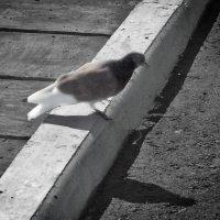 голубь :: Юлия Денискина