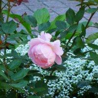 Сколько шарма, прелести, изыска, сколько силы в царственном цветке! :: Galina Leskova