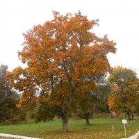 Осень клёна :: Мила