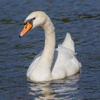 Белая лебедь :: Николай Николенко