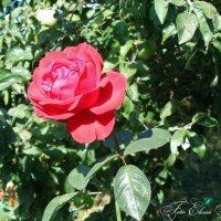 Роза осенью :: °•●Елена●•° Аникина♀