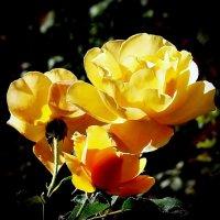 Осение розы :: Владимир Бровко
