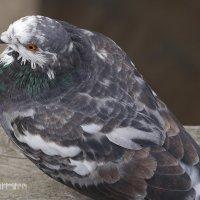 Пестрый голубь :: Дмитрий Лебедихин
