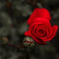 Роза :: Александр Зенкин