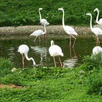 Фламинго. :: Александр Атаулин