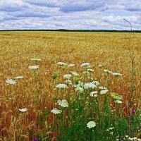 пшеничное поле :: юрий иванов